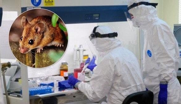 Хантавирус: что это за болезнь и как не заразиться