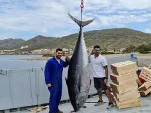 В Испании выловили трёхметрового тунца-рекордсмена весом 305 килограммов