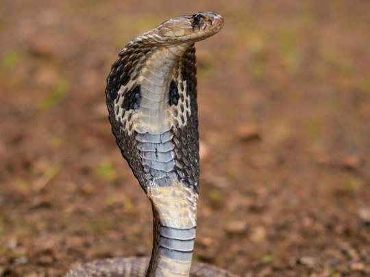 Индиец, в штаны которого залезла кобра, простоял без движения семь часов в ожидании помощи