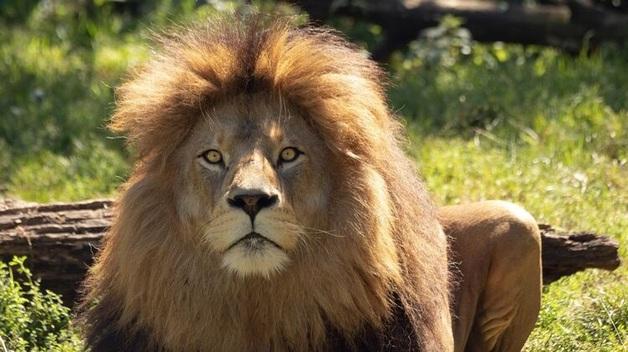 Сотрудница зоопарка в Германии выжила после того, как лев ударил ее лапой