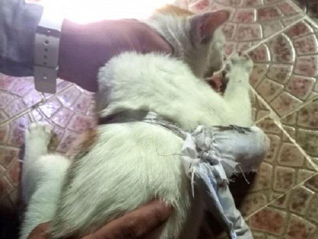 В Панаме задержали кота-наркокурьера, который пытался пронести кокаин в тюрьму