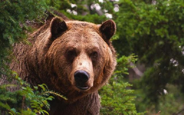 Бесстрашный водитель выманил медведя, севшего за руль его машины
