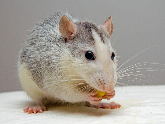 Крыса перепугала депутатов парламента, сорвав заседание
