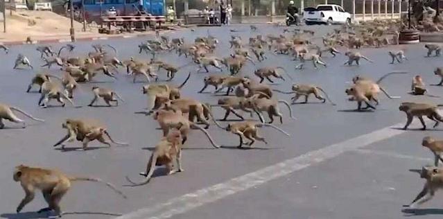 В Таиланде голодные обезьяны заполонили улицы