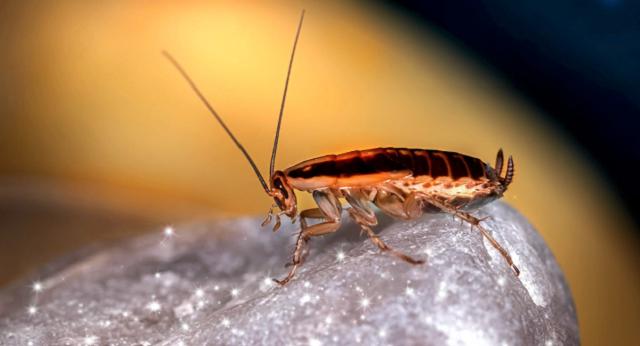 Китайские биологи сделали самок тараканов непривлекательными для самцов