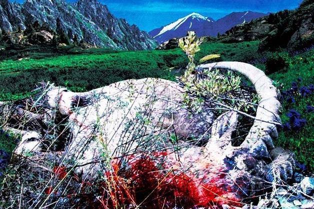 За козла ответишь. «Ханская охота» чиновников Горного Алтая