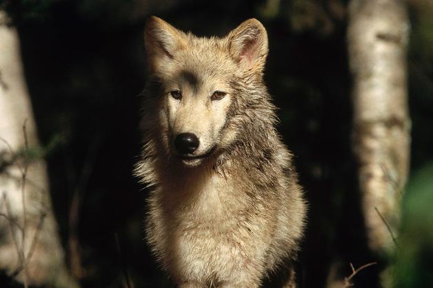Финская полиция раскрыла контрабанду волков из России